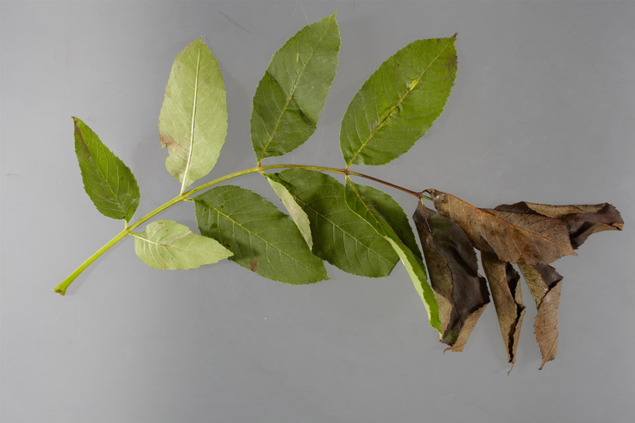 What is Ash Dieback?
