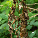Ash dieback is a disease affecting ash trees caused by the fungus Chalara fraxinea
