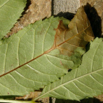 Things to look out for when identifying Ash Dieback