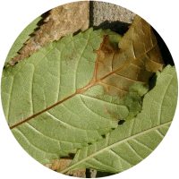 Infected-leaf-round